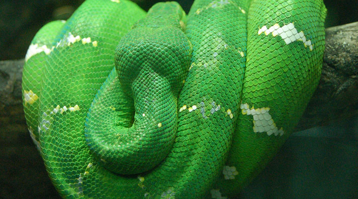 Emerald_Tree_Boa_Wrapped_on_a_Branch_2480px