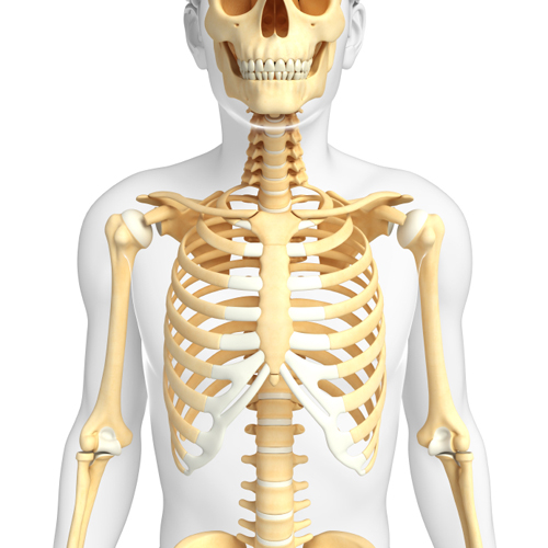 Illustration of human front view skeleton