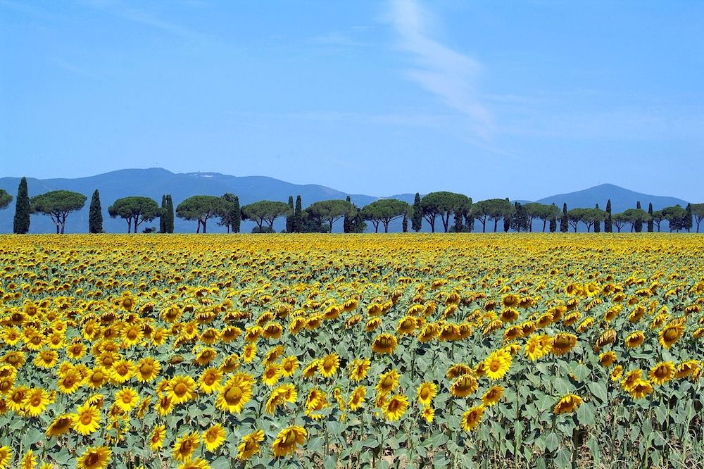 Sunflowers in full bloom in Tuscany. Image: By Giovanni from Firenze, Italy (Maremma Toscana) [CC BY 2.0 (http://creativecommons.org/licenses/by/2.0)], via Wikimedia Commons