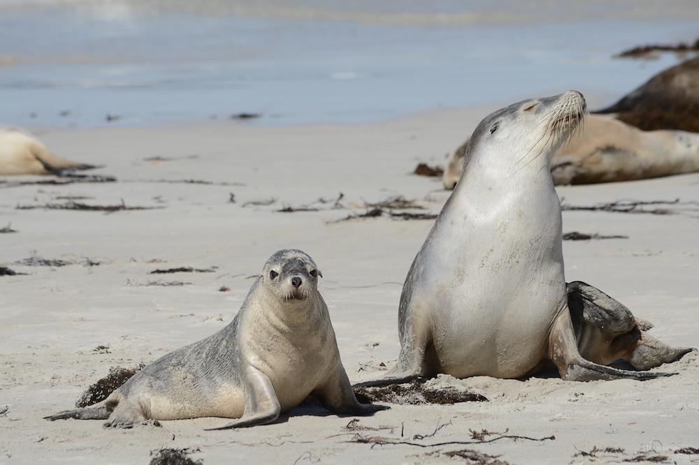 Seals in Kangaroo Island