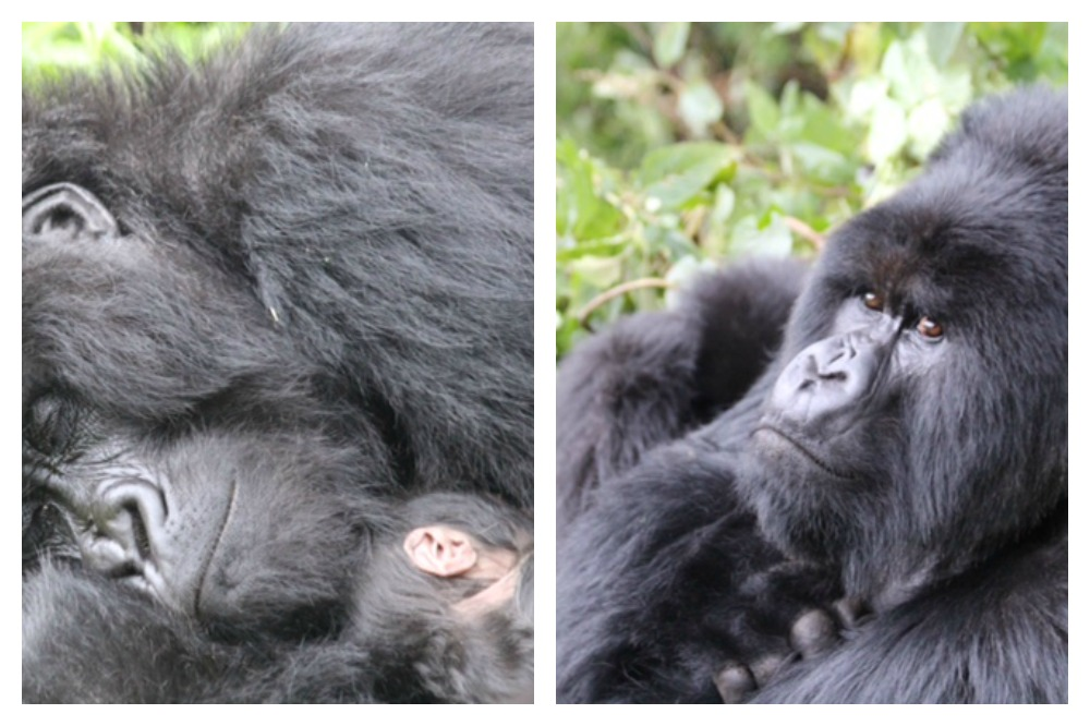 Dianne captured some beautiful photos of the silverbacks in Rwanda