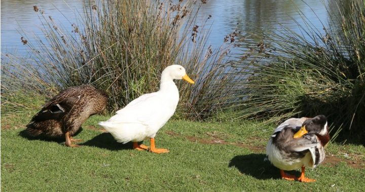 The three ducks from the story at Lake Weeroona, Bendigo.