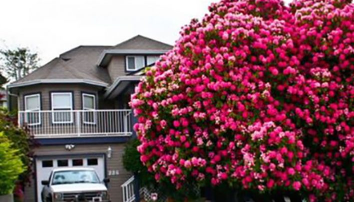 Amazing 115 Year Old Rhododendron In Full Bloom Starts At 60
