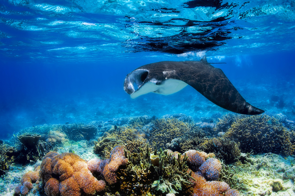 Manta rays swim through channels in Fiji from May to October
