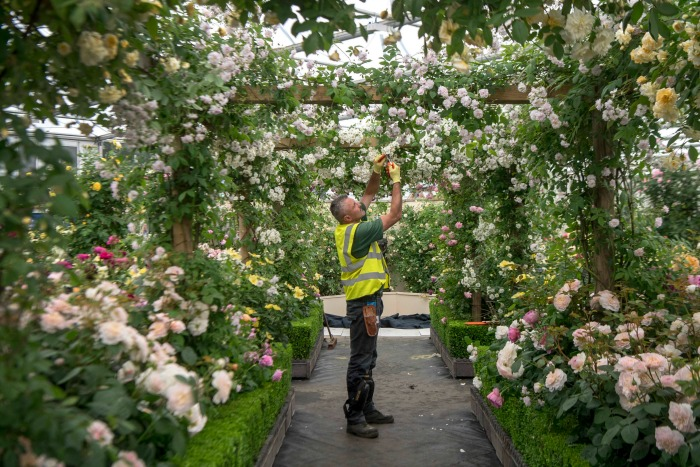 A worker prepares a rose archway at the Chelsea Flower Show.