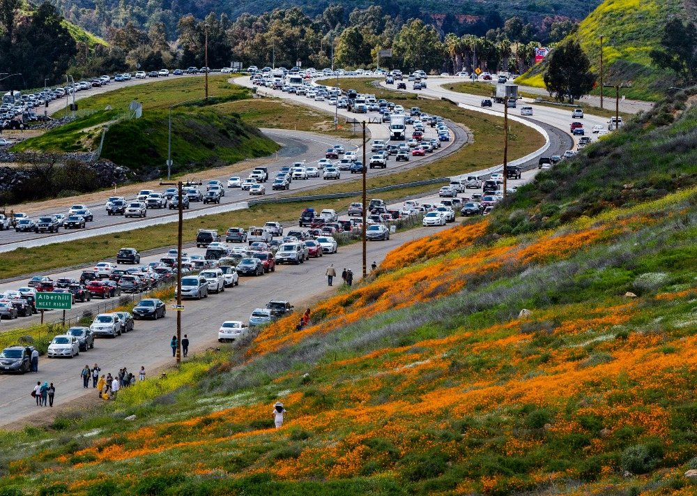 Thousands of cars line the highway at Lake Elsinore on their way to see the wildflowers. Source: Getty