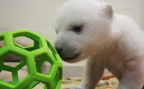 polar bear_toronto zoo_ball